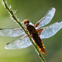Dragon fly--Frank Lock--1.jpg