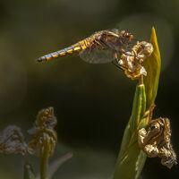 Dragonfly on Iris--John Whitby--3