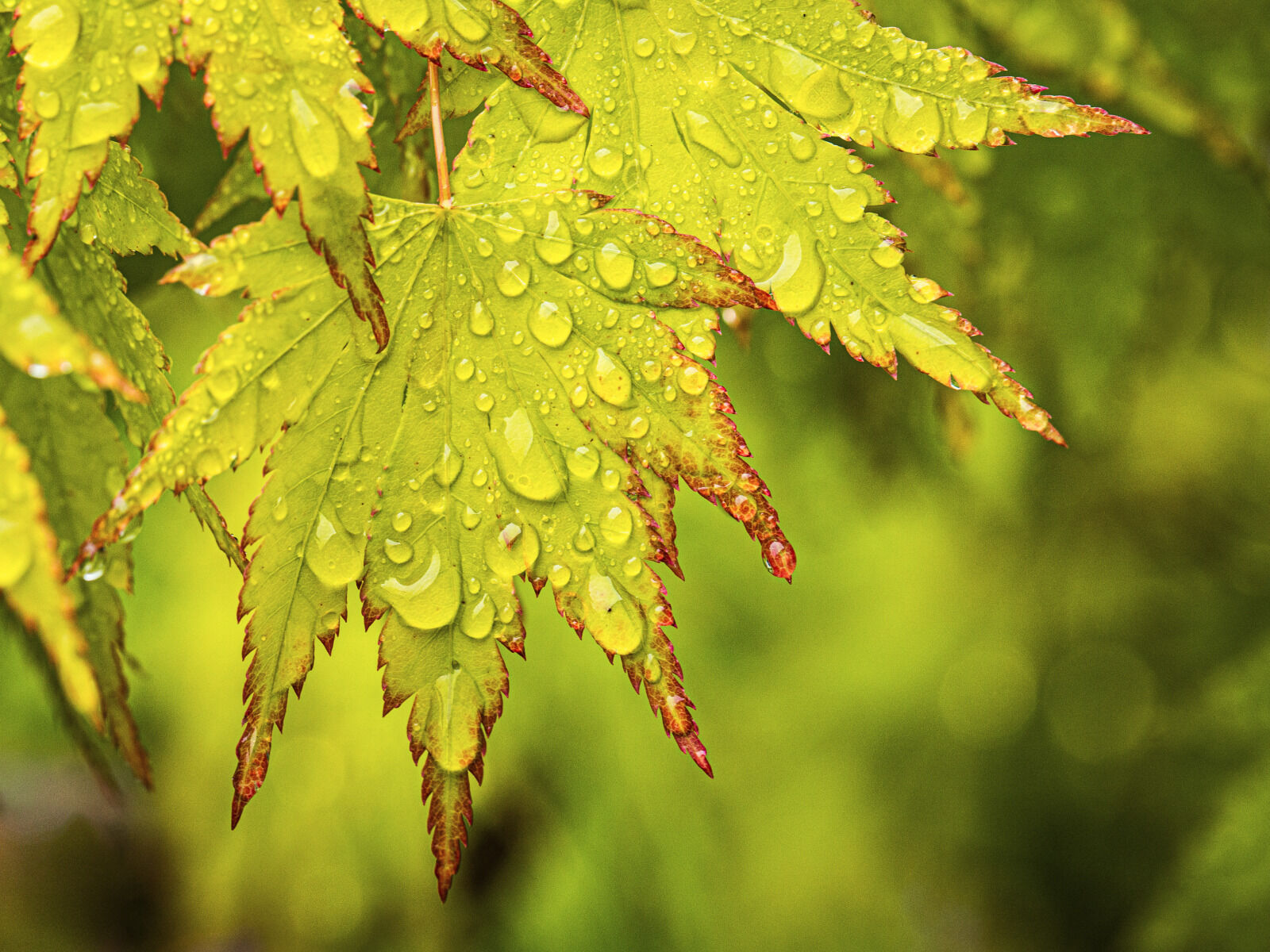 Group B - Commended - Rain on Acer - David Walters