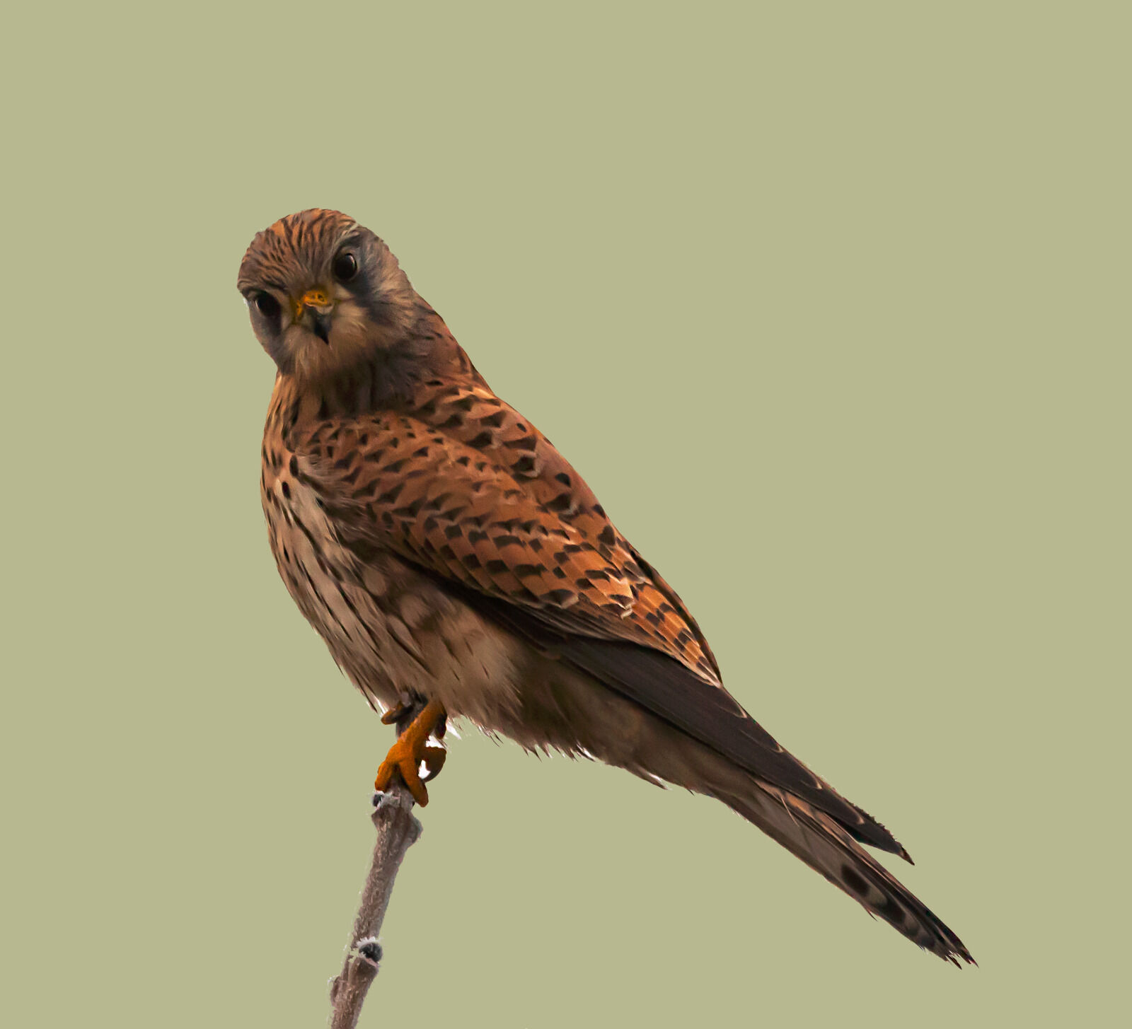 Group C - Second - Kestrel (Falco Tinnunculus) - Frank Lock