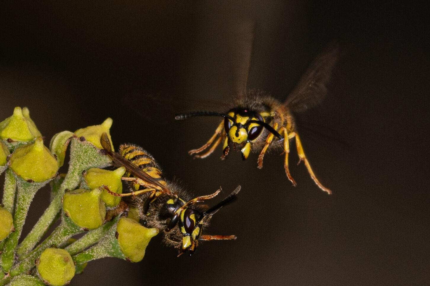 Third - Wasp Attack - Allan Metcalfe
