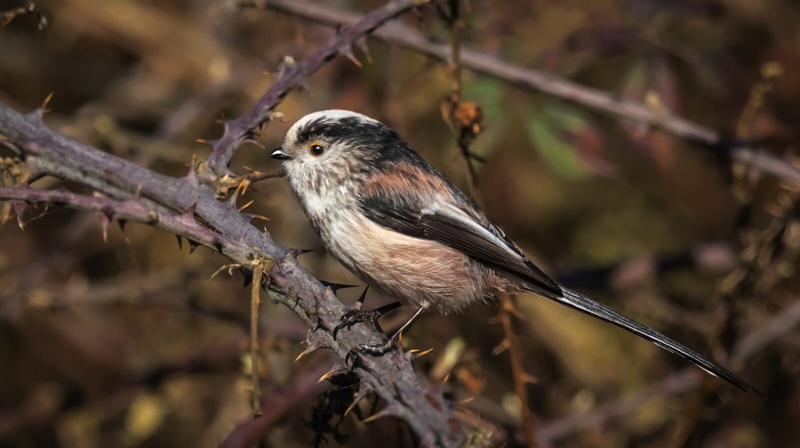 Group C - Commended - Long Tailed Tit - Frank Lock