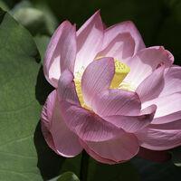 Lotus Flower--Susan Giblett--2