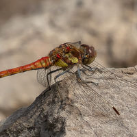 Male Common Darter - Peter Shale