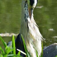 Preening Heron--Anthony Mason--1