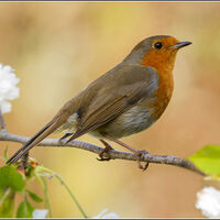 Spring Robin - Wint Lees (1st Place)
