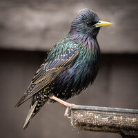 Starling--Peter Shale--2
