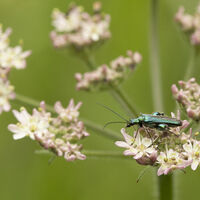 Thick Legged Flower Beetle--Keith Bowser--1