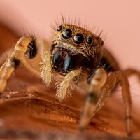 portrait of a jumping spider--mark phillips--2