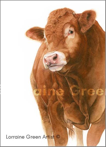 Print taken from a watercolour painting of a Limousin Bull