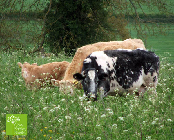 Cow Parsley Cows