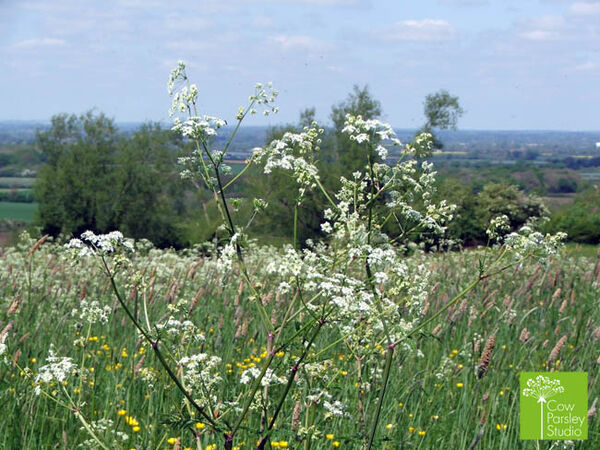 Cow Parsley Studio Fields