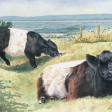 Belted Galloways Greetings Card