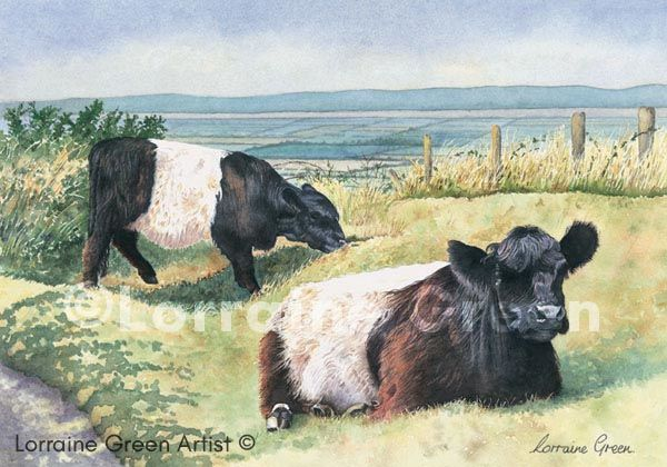 print taken from a watercolour painting of 2 belted galloway cows