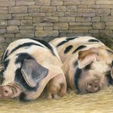 Painswick Pigs Greetings Card