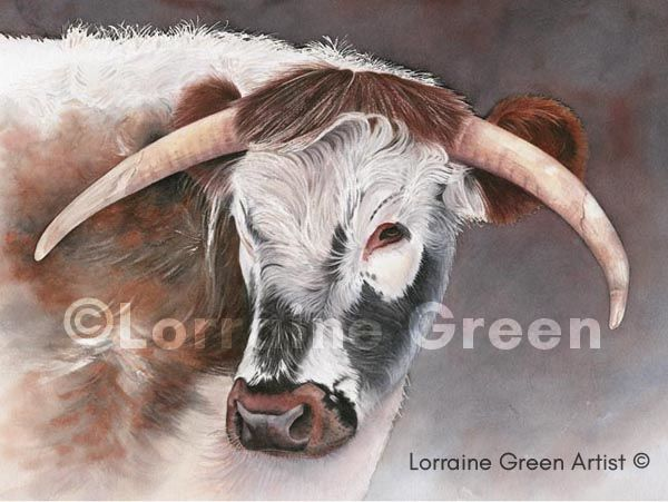 A print taken from a watercolour painting of a Longhorn cow