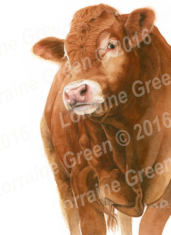 A6 Greetings card featuring a Limousin bull