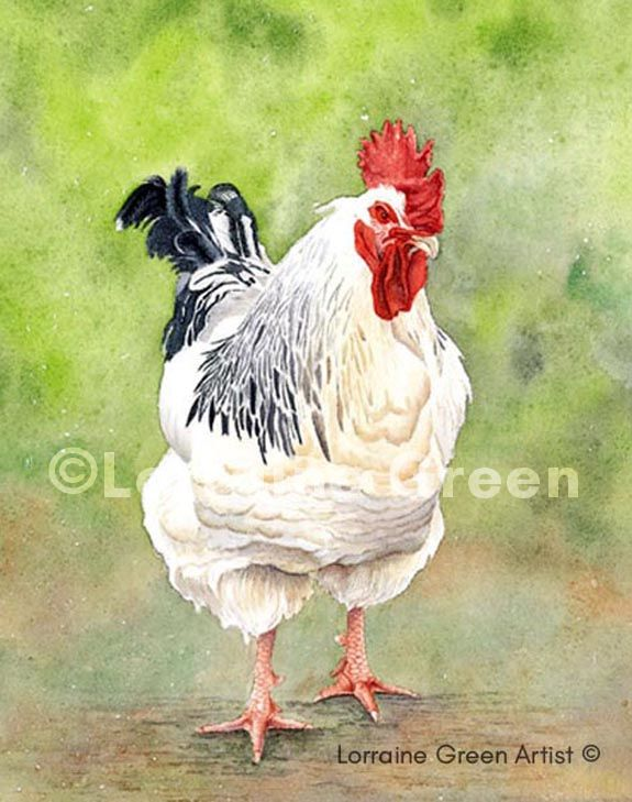 Print taken from a watercolour painting of a Light Sussex chicken
