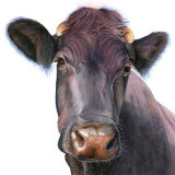 Square Nosey Cow Greetings Card