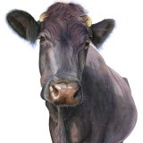Nosey Cow Greetings Card