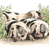 Pile of Porkers Greetings Card