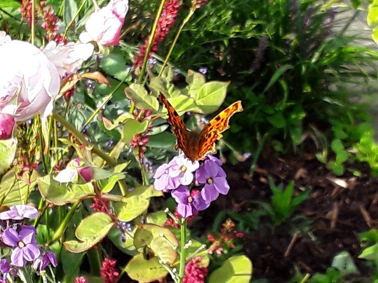 Butterfly Lisa's