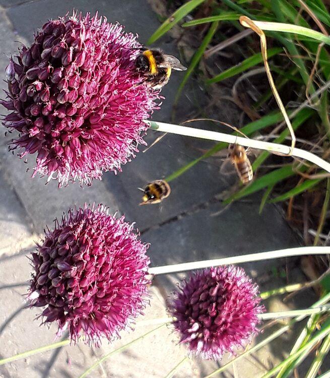 Chives allium lisas bees