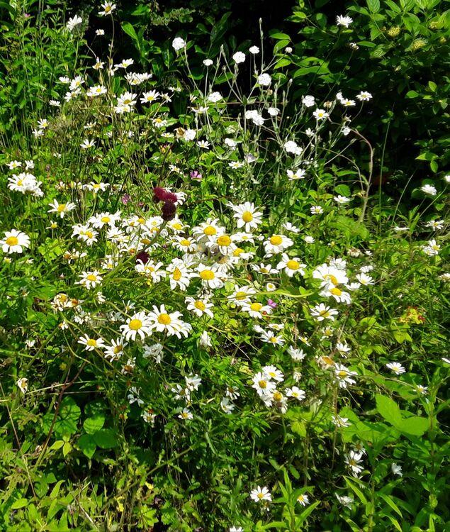 Dog daisies Lisas garden