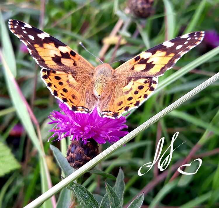 Lisa Holmes butterfly