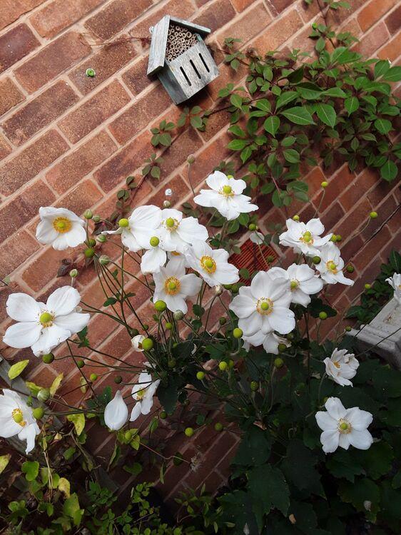 Lisa's anemones