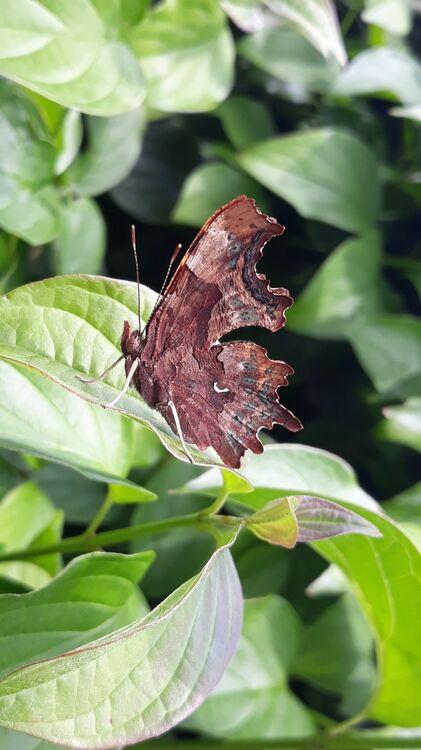 Lisa's butterfly