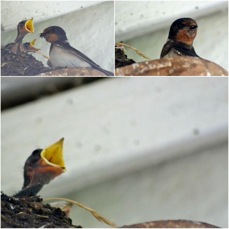 Lisa's swallow chicks
