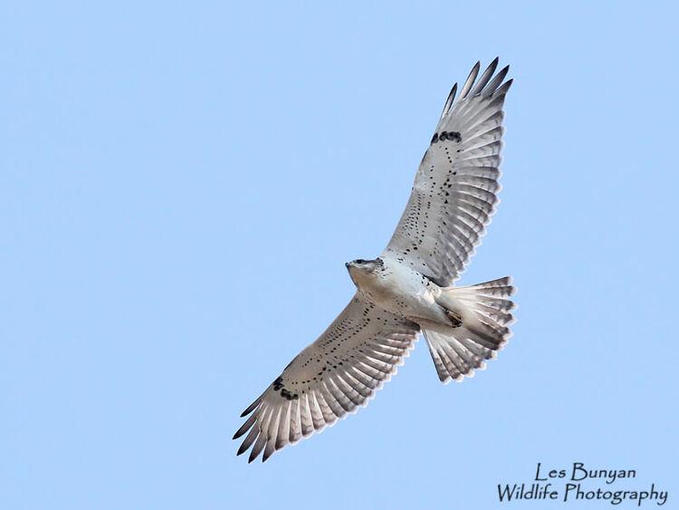 Ferrugnious Hawk