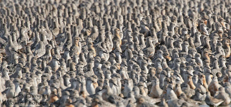 Knot at RSPB Snettisham
