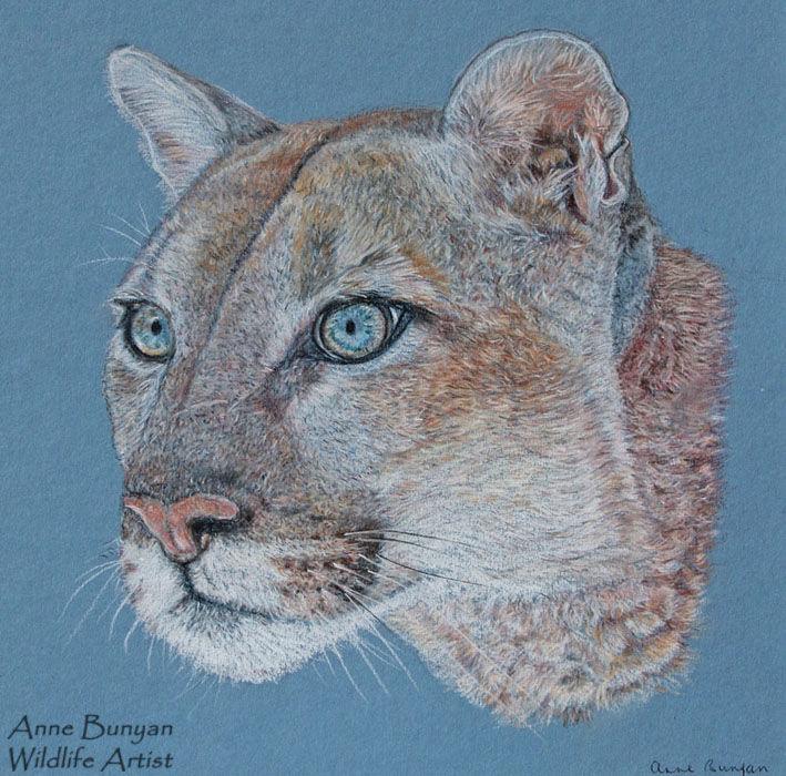 American Mountain Lion