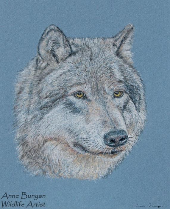 American Grey Wolf