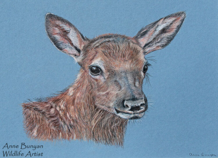American Elk Fawn