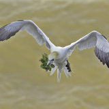 """""""Gannet with moss""""2nd Prize"""