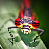 """""""Red damselfly""""Commended"""
