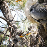 """""""Purple heron & young""""Highly Commended"""