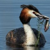 """Great Crested Grebe with fish""   Second Place - Nature"