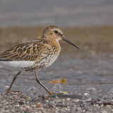 """""""Dunlin""""Highly Commended"""