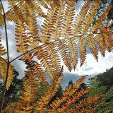Bracken Leaves