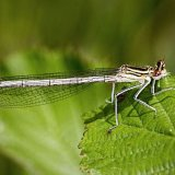 """White legged damselfly""   Commended - Nature"