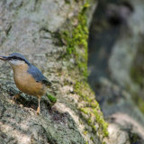 """Nuthatch""   Commended - Nature"