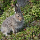 """Mountain Leveret""   Highly Commended - Nature"