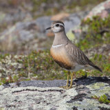 """Dotterel""   Highly Commended - Nature"