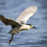 """Night heron in flight""   Highly Commended - Nature"