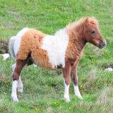 Shetland Foal in Shetland