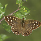 """Speckled Wood""   Commended - Colour"